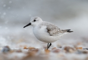Sanderling am Oldsumer Strand