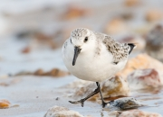 Sanderling am Sörenswai