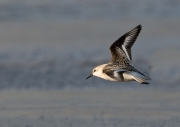 Fliegender Sanderling