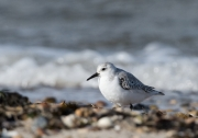 Sanderling an der Godel