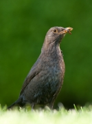 Amsel am Westerstieg in Nieblum